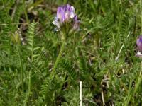 Image of Astragalus danicus