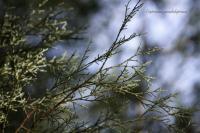 Image of Cupressus guadalupensis
