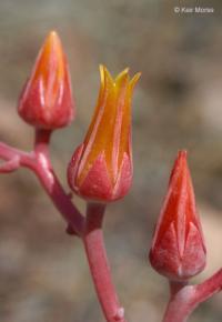 Image of Dudleya nevadensis
