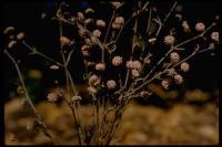 Image of Eriogonum angulosum