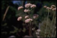 Image of Eriogonum rosmarinifolium