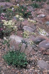 Image of Eriogonum spathulatum
