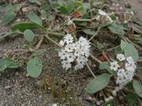 Image of Abronia ammophila