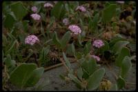 Image of Abronia breviflora