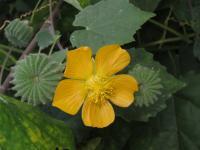 Image of Abutilon indicum