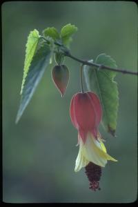 Image of Abutilon megapotamicum