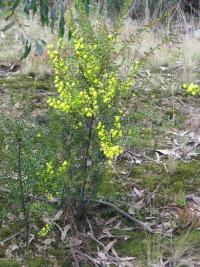 Image of Acacia acinacea