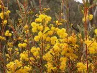 Image of Acacia buxifolia
