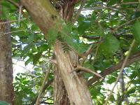 Image of Acacia collinsii