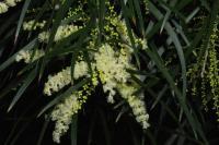 Image of Acacia floribunda