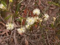 Image of Acacia genistifolia