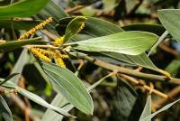Image of Acacia holosericea