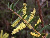 Image of Acacia oxycedrus