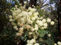 Image of Acacia parramattensis