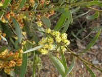 Image of Acacia rubida