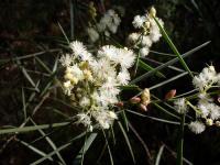 Image of Acacia suaveolens