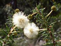 Image of Acacia ulicifolia