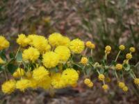 Image of Acacia uncinata