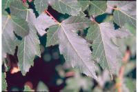 Image of Acer tataricum