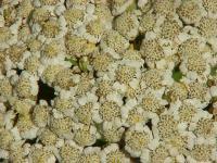 Image of Achillea macrophylla