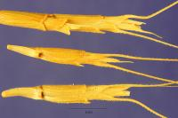 Image of Aegilops speltoides