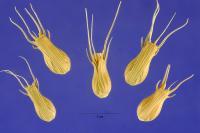 Image of Aegilops ventricosa