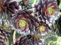 Image of Aeonium arboreum