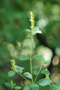 Image of Agastache nepetoides