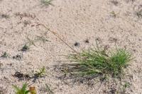 Image of Agrostis canina