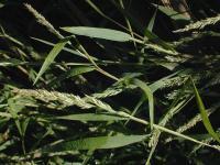 Image of Agrostis frondosa