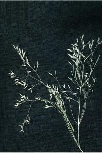 Image of Agrostis mertensii