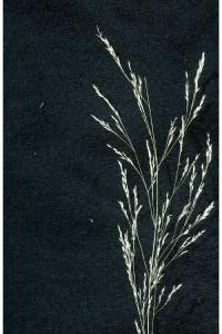 Image of Agrostis oreophila