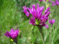 Image of Allium brevistylum
