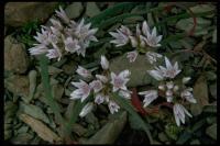 Image of Allium crenulatum