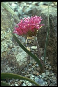 Image of Allium falcifolium