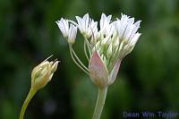 Image of Allium jepsonii