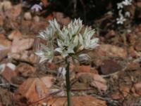 Image of Allium lacunosum