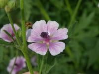Image of Althaea cannabina