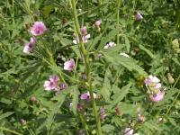 Althaea cannabina image