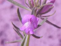 Image of Antirrhinum orontium