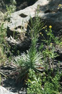 Image of Arabis maxima