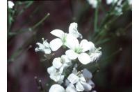 Image of Arabis rhomboidea