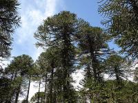 Araucaria araucana image