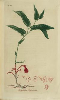 Aristolochia hastata image