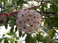 Image of Asclepias carnosa