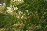 Astragalus antisellii image