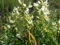 Image of Astragalus atropubescens