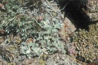 Image of Astragalus austiniae