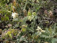 Image of Astragalus gaviotus