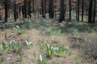 Image of Astragalus lentiformis